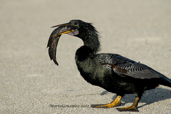 Male Anhinga with cath of the day